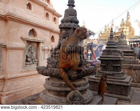 Monkey Walking Playing Sitting Relaxed In Swayambhunath Pagoda Or Swayambu Or Swoyambhu Or Monkey Te
