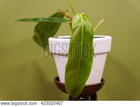 A Small Philodendron Patriciae, One Of The Rarest And Sought After Houseplant Collectors