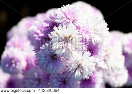 Violet Color Of Marguerite Flowerwith Green Leaf Background