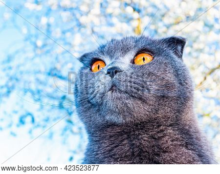 Head Of A Gray Fold Cat With Orange Eyes In Sunlight. Scottish Fold Cat. British Breed Of Kittens. G