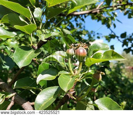 Pears Grow On A Branch In The Garden. Small Unripe Fruits In The Ripening Process