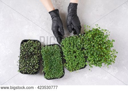 Hands In A Black Gloves Take A Tray With The Microgreen Sprouts. Microgreens: Chia, Purple Cabbage,