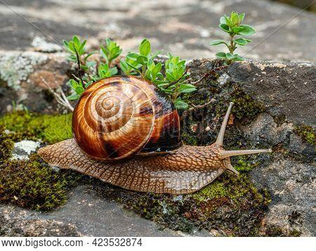 Edible Snail Or Escargot (helix Pomatia) Crawls On The Moss.