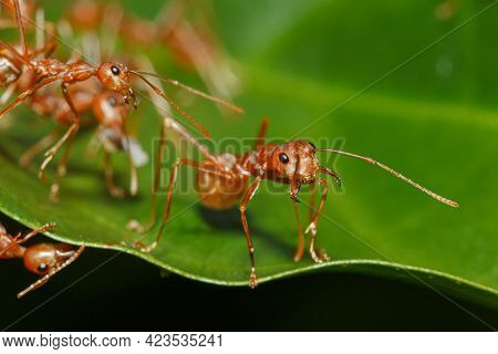 Macro Photography,red Ant Walk On A Leaves Green Background  With Selective Focus,close Up
