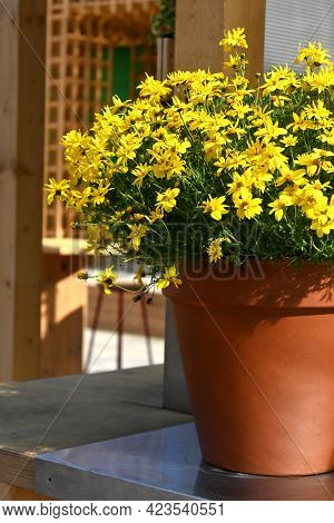 Bright Yellow Flowers In A Ceramic Pot On The Terrace. Decoration For The Comfort Of The House, Terr