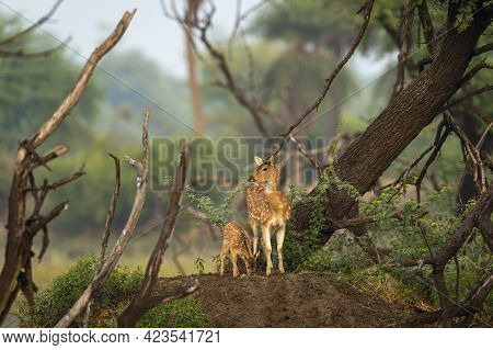 Mother Spotted Deer Or Chital Or Cheetal Or Axis Axis With Her Fawn In Scenic And Colorful Landscape