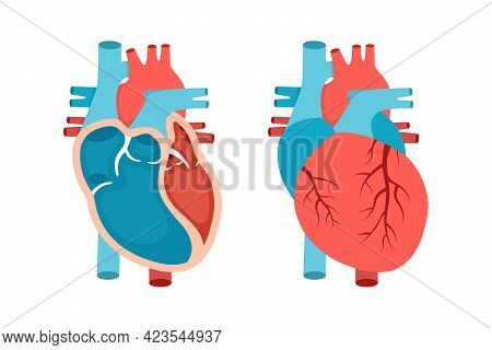 Heart Anatomy With Cross-section And Non Cut View. Anatomically Correct Heart. Cardiology Concept.