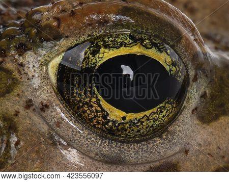 Full Frame Macro Shot Of Eye Form Bufo Boulengeri  Aka African Green Toad.