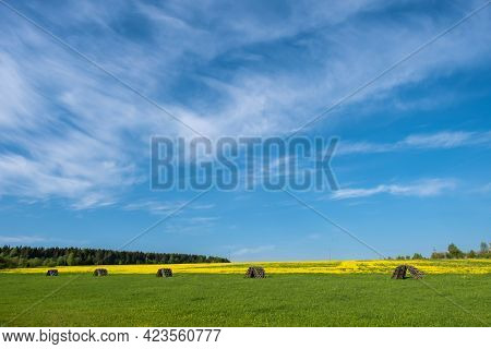Large Field With Yellow Flowers And Blue Sky With White Clouds, Russia.
