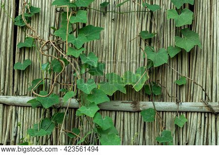 Coccinia Grandis Ivy Gourd Is A Wild Plant. The Leaves, Root, And Fruit Are Used To Make Medicine Al
