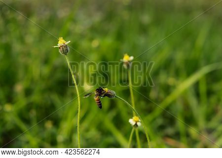 Bee Sit On Hairy Galinsoga Or Coatbuttons Flower To Collect Honey