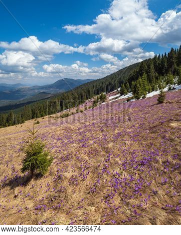 Blooming Purple Violet Crocus Heuffelianus (crocus Vernus) Alpine Flowers On Spring Carpathian Mount