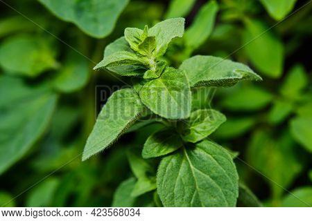 Green Oregano Plant Close Up Detail Oudoors