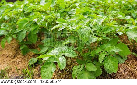 Gardens With Green Potatoes. Potato Leaves Close Up. Potatoes Growing On The Ground