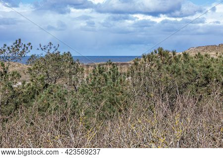 Green Pines Among The Bare Wild Plants And The Sea In The Background In The Dutch Dunes Nature Reser