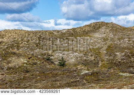 Hills With Grass, Dry Heather And Some Wild Plants In The Dutch Dune Reserve, Spring Day With A Blue