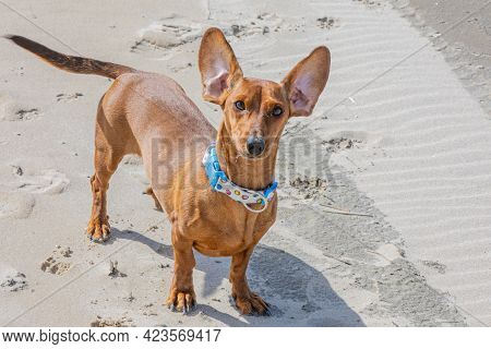 Funny Scene Of A Brown Short Haired Dachshund With Its Ears Raised By The Wind, Sunny Spring Day At