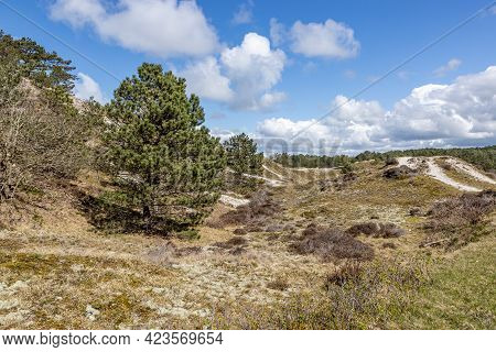 Green Pine Trees Among The Hills With White Sand, Wild Grass, Dry Heather In A Dutch Dune Reserve, S