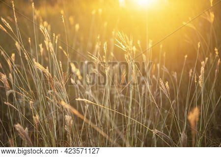 Beautiful Meadow Of Wild Grass With Sun Flare. Soft Focus Effect Image