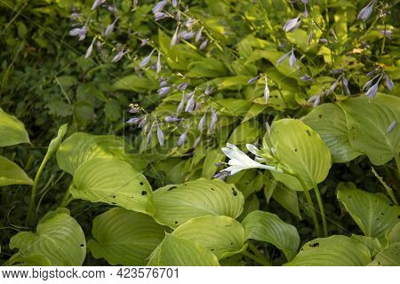 White Hosta Big Daddy Flowering With White Flowers In The Garden