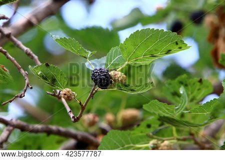 Ripe Mulberries Hang On A Tree In A City Park. Hot Summer In Israel.