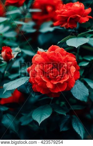 Red Roses In The Garden. Romantic Card With Floral Pattern. Nature Background, Flowery Wallpaper. Wi