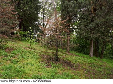 Disease Of Spruce Plants. Dried Spruce Plant In The Mountains Or Forest.