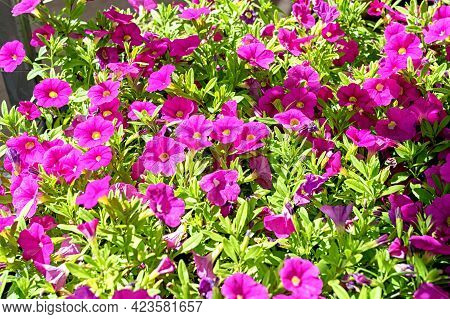 Close-up Of Seedlings With Pink Kalibrahoa Flowers In The Garden Center