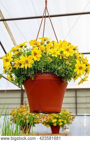 Close-up Of A Pot Of Yellow Bacopa Flowers Hanging In The Garden Center.