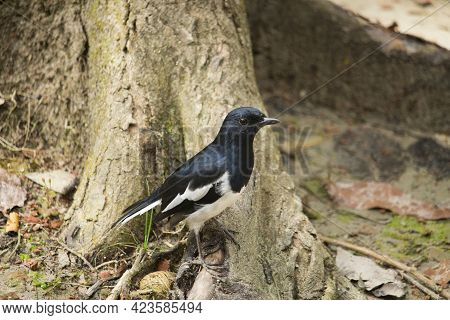 The Magpie Robin Is Standing On The Roots Of The Tree