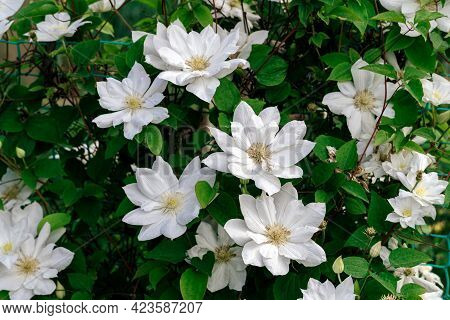 Gorgeous Bush Clematis With Large Bright White Flowers. Beautiful Clematis Flowers Near The House. F
