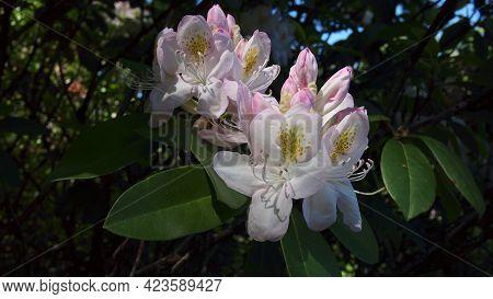 Blooming Flower Of Great Laurel Or Rosebay Rhododendron, American Rhododendron, Big Rhododendron, Gr