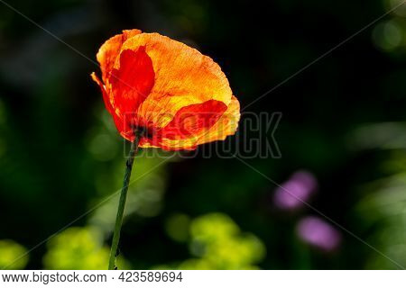 Red Poppy In The Morning Sun With A Dark Background