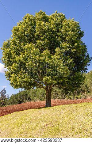 Tree In A Grass Field With Forest In Background, Pnhal Alto, Nova Petropolis, Rio Grande Do Sul, Bra