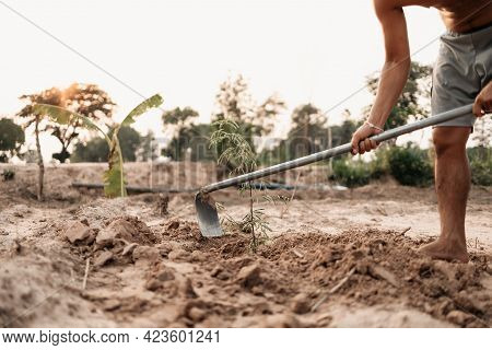 Man Plants A Small Tamarind Tree, Hands Holds Shovel Digs The Ground Garden. Farm And Argiculture At