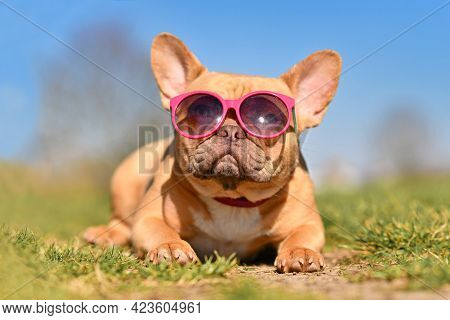 Cute French Bulldog Dog Wearing Pink Sunglasses In Summer On Hot Day