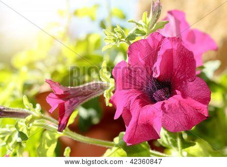Pink Flower Petunia Surfinia Vein