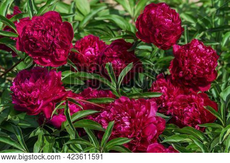 Herbaceous Peony Burma. The Bud Is Large, Dark Cherry Color.