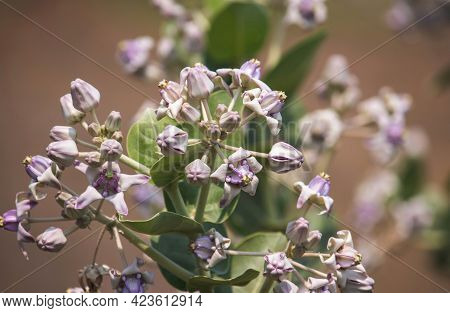 Calotropis Gigantea Or Crown Flower Cluster On Its Plant With Selective Focus