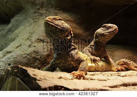 Two agamid lizards - central bearded dragons poster