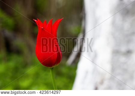 Red Tulip Varieties Aladdin Record On The Background Of Green Grass. Flower Close-up. Lily-shaped Tu