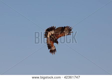Attack of a buzzard