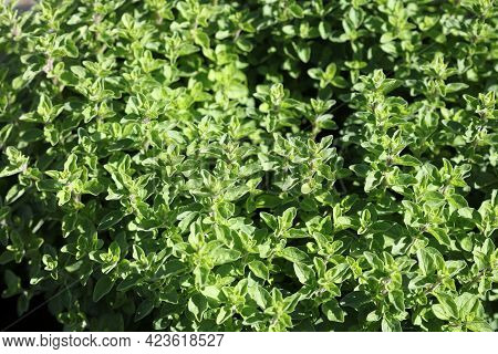 Fresh Oregano In Herb Garden In Germany