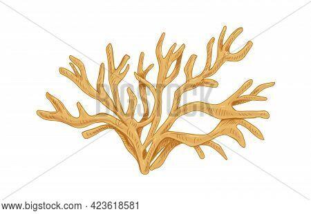 Irish Sea Moss Or Carrageen. Underwater Edible Seaweed. Natural Undersea Alga. Botanical Drawing Of