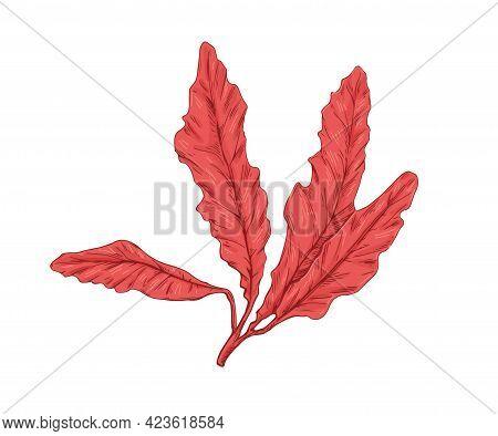 Delesseria Alga. Leaves Of Red Seaweed. Edible Sea Plant. Botanical Drawing Of Underwater Vegetation