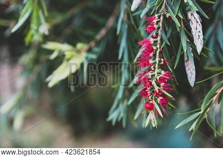 Native Australian Callistemon Plant With Red Flower Outdoor In Sunny Backyard Shot At Shallow Depth