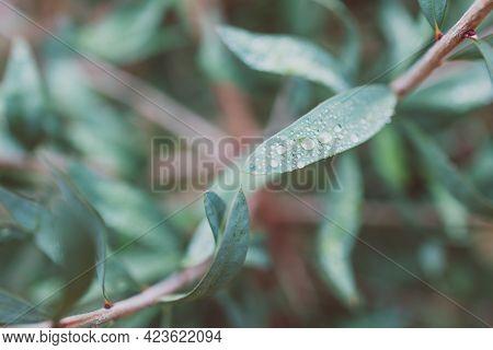 Native Australian Callistemon Plant With Rain Drops On Its Leaves