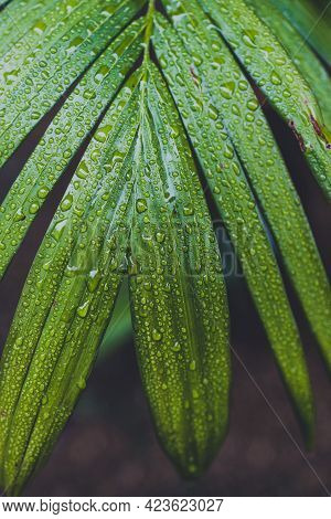 Close-up Of Green Palm Leaves With Rain Drops On A Bangalow Palm Shot After A Tropical Rain