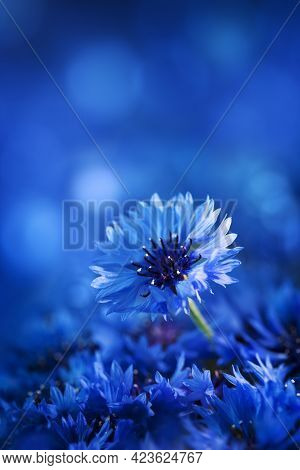 Beautiful Macro Shot Flower Of Cornflower Against Blue Background.