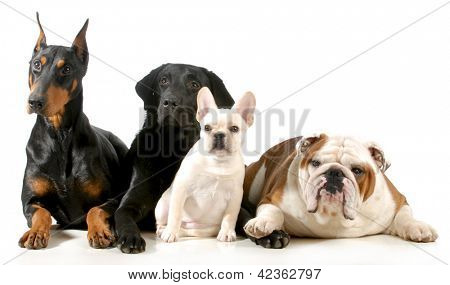 four different breeds of dogs laying together isolated on white background poster